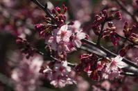 detail of sakura tree in bloom