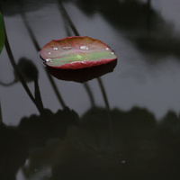 Water drops over lotus leaf in the pond