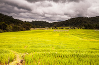 rice fields on terraced-green terraced rice fields.