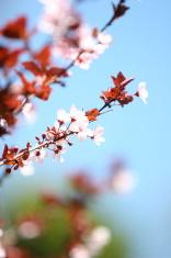 Ornamental plum blossoms