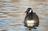 Canada Goose