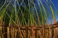 Freshwater Reeds