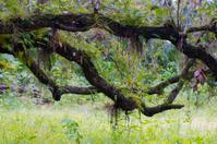 twisting oak branches in sub tropics