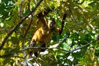 Geoffroy's spider monkey