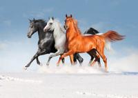 free three arabian horses in winter field