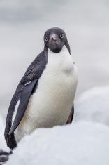 Profile of adelie penguin in Antarctica