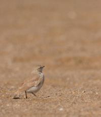 Gray's lark