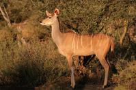 Kudu antelope