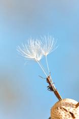 Climbing ant on dried dandelion