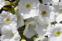 White petunia flower plants in the garden.