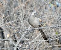Grey Loerie, Go Away Bird