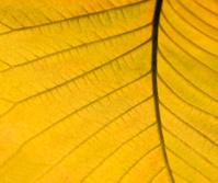yellow autumn leaf detail