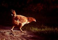Chicken walking