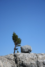 Sierra Tree