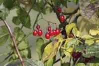 Poisonous red berries of woody nightshade
