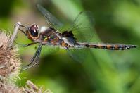 Twelve Spotted Skimmer Dragonfly