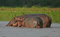 Hippo splashing in the Rufiji River Tanzania Africa