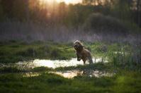 redhead Spaniel dog running with a stick
