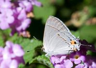 Tail Eye Garden Moth