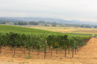 Plantation of Grapes