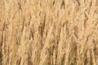 Ripe Grass