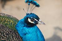 Blue Peacock(Pavo Cristatus)