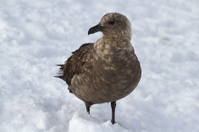 South polar skuas which stands in the snow