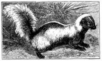 Antique illustration of striped skunk (Mephitis mephitis)