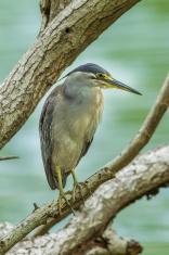 Little Heron (Butorides striata)