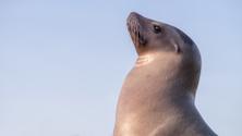 Female sea lion looking posh proud or upper class