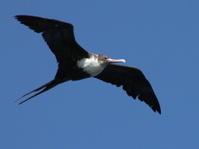 Great Frigatebird in Flight