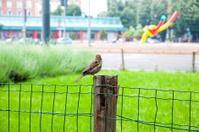 Sparrow on chain-link fence