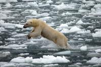 Polar Bear Jumping in Frozen Ocean