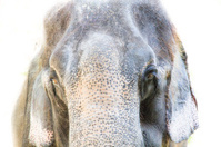smile face of elephant