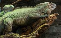 large rhino lizard