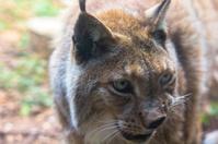Iberian lynx bonito in the field