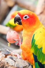 face of orange parrot