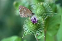 Ringlet (butterfly)