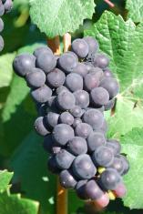 Ripe & Ready Grapes