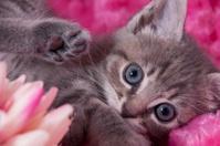 Blue-Eyed Kitten in Pink