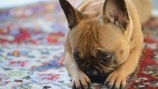 French bulldog ready to have fun