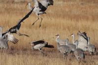 Sandhill Cranes displaying