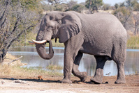 Lone Tusker, Botswana