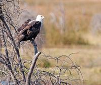 Fish Eagle,Botswana