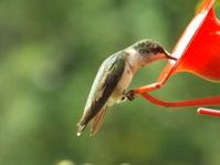 Tiny American Hummingbird