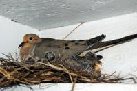 Pigeon Dove