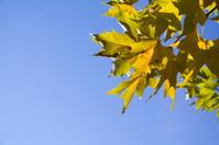 platanus tree leaves