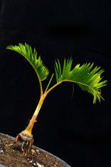 bonsai palm tree