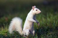 White squirrel in Olney