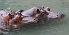 Two Hippopotamus.